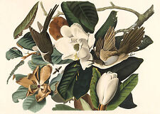 Audubon Reproductions: Birds of America: Black-billed Cuckoo - Fine Art Print