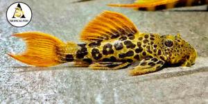 L600 Pleco SMALL live freshwater aquarium fish 3/4cm(1.5inch) High Quality