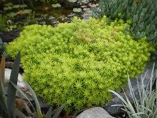 10+ CUTTINGS - SEDUM PLANT 'GOLDEN GLOW' CRAWLER SUCCULENT CUTTINGS