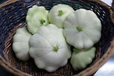 Squash Summer Early White Bush Scallop (Cucurbita Pepo) Heirloom - 100 Seeds