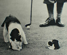 Bushey Hall Golf Club Mickey The Cat Kittens In Hole On Green 1935 Article 7844