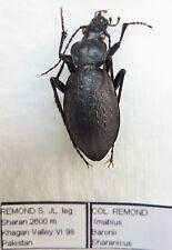 Carabus imabius baronii sharanicus (female A1) from PAKISTAN (Carabidae)