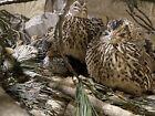 Jumbo Pharoah Coturnix Quail Hatching Eggs