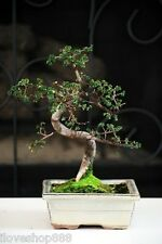 Chinese Elm Bonsai Tree Plant Nature Live Pot Indoor Outdoor Home Decoration