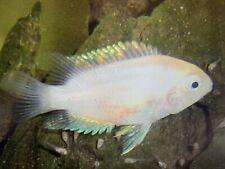 8 X Albino Convict - Cichlids - Tropical Fish