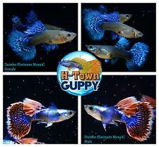 1 TRIO - Live Aquarium Guppy Fish High Quality - Dumbo Platinum Mosaic