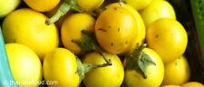 30 seeds THAILAND yellow eggplant Fresh Seed มะเขือหืน,มะเขือเหลือง,มะเขือขื่น