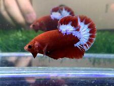 New listing [Ngm - 01064] Live Betta Fish Premium Grade Red Fancy Startail Male