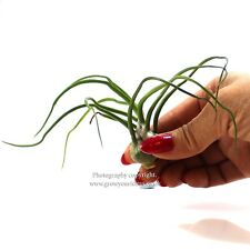 Tillandsia Bulbosa. Air plant The perfect Hardy houseplant! No soil required