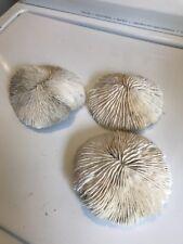 3 Large White Mushroom Like Coral Tongue Style Like Mushroom Top Real.