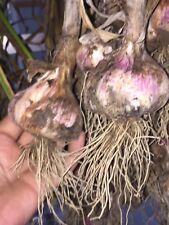 Organic Gourmet Garlic-for culinary/seed/bulbs- 5 varieties to choose- OHIO