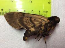 MPSP00 Sphingidae A+/A MALE Acherontia lachesis Deathhead Moth