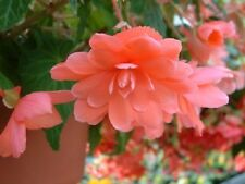 15 Begonia Seeds Trailing Cascade Beauty Rose Pelleted Seeds