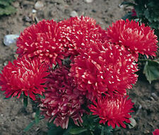 ASTER MILADY SCARLET RED DWARF Callistephus Chinensis - 200 Bulk Seeds