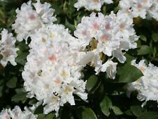 Rhododendron Cunningham's White  - #1 Container Size Plant - Hardy to -10