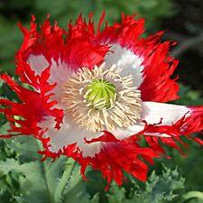 Poppy Danish Flag Flower Seeds (Papaver Somniferum) 200+Seeds