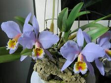 Cattleya percivaliana f. pseudo concolor species orchid Large plant