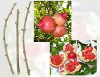 POMEGRANATE TREE CUTTINGS - Outstanding Sweetness - (4) FRESH Cuttings