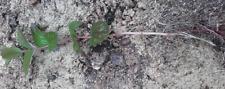 lots de 10  Petits plant poivrée  BIO 25/40 cm