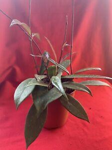 Hoya publicalix