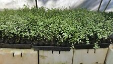 10 x PITTOSPORUM SILVER SHEEN HEDGE SCREEN PLANTS IN 50MM TUBES