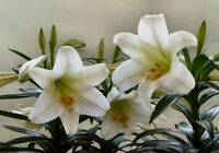 White Lily Seeds Lily Flowers Seeds White Lilium Brownii Flower Balcony Bonsai