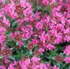 CREEPING PINK CHINTZ THYME Thymus Serpyllum herb plant in 100mm pot