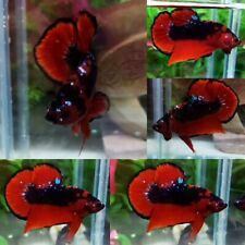 Red Devil Halfmoon Plakat Male - IMPORT LIVE BETTA FISH FROM THAILAND