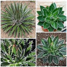 50 seeds of agave schidigera, succulents, cacti, succulents seed C