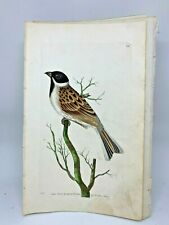 Reed Bunting - 1783 RARE SHAW & NODDER Hand Colored Copper Engraving