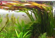 10 (ten) x Vallisneria gigantea (Amazing Aquatic Plant)