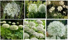 White Allium Huge Flower Grows on Tall Stems 25 + Seeds
