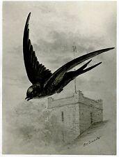1876 Antique Bird Print -  Philip Delamotte THE SWIFT - vintage wall art