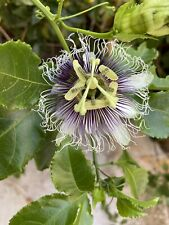 10 Purple Passion Fruit Cutting - 10'' Long - Buy 2 Get 1 Free