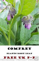 2 COMFREY ROOT BOCKING 14 RUSSIAN ORGANIC HERB  ROOTED CROWN CUTTINGS FREE P+P