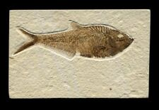 Extinctions Auction- Very Large Diplomystus Fossil Herring Fish - Beautiful!