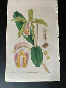 Curtis's Botanical Magazine; Print #3265, Cattleya forbesii (orchid), 1833