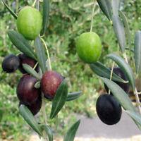 Olive Tree Manzanillo Live Plant Olea Europaea 3-Inch Deep Pot Indoor Garden
