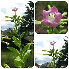 Türkischer Schnupftabak Nicotiana rustica süßlicher Tabak auch für Wasserpfeife