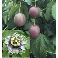 """Purple Passion Fruit - 1 Starter Plant - 6"""" to 10"""" Tall - Ship in 3"""" Pot"""