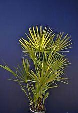 CHAMAEROPS HUMILIS v Ø18 Palma nana di S. Pietro Dwarf Fan palma palm plant