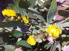 """Cow's Tongue Prickly Pear Cactus-Four 12""""-14""""Pads (cuttings)"""