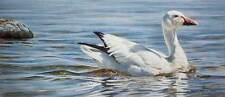 Robert Bateman Proud Swimmer - Snow Goose Limited Edition Print