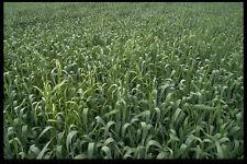 404080 Corn Field A4 Photo Texture Print