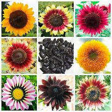 Sunflower Bonsai Ornamental Seeds Plants Potted Helianthus Annuus 20pcs/bag