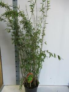 Fargesia jiuzhaigou 1 - Jade Bambus - Roter Bambus - Heckenpflanze
