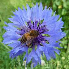 CORNFLOWER (CENTAUREA ) WILDFLOWER BULK PACK 1000 SEEDS - wild flower seed