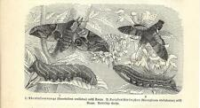 Stampa antica FARFALLE Smerinthus ocellatus BUTTERFLIES 1891 Old antique print