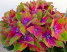 HYDRANGEA MACROPHYLLA * GLAM ROCK * 9CM POT * STUNNING FLOWERS