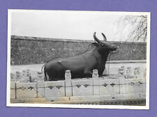 BRONZE COW GUARD STATUE PEKING CHINA ORIGINAL VINTAGE OLD PHOTO 8x5cm RX